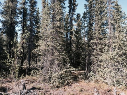 The dense spruce forest before fire-wising.